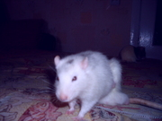 симпатичный крыс ищет самку для спаривания будем благодарны за внимани