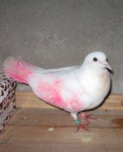 найден свадебный голубь