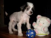 Собачка китайская хохлатая в Минске