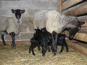 Продам баранов Романовской породы на племя/мясо