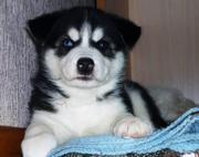 Черно-белые голубоглазые щенки хаски
