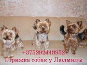 Стрижка собак декоративных пород,  йорки,  мальтезе,  ши-тцу