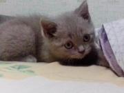 Очаровательный британский котенок лилового окраса.Привит,  документы.
