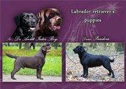 Черные щенки лабрадора