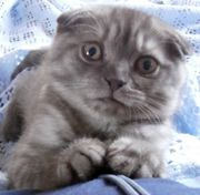 котенок шотландской вислоухой кошки