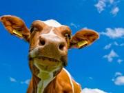 куплю быков коров телят