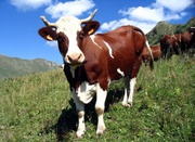 Крупно рогатый скот