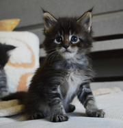 очень красивые котята породы Мэйн-кун