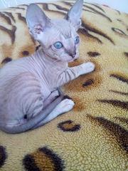 котята сфинкс
