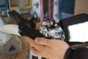 продам николаевских голубей(Бобруйск)