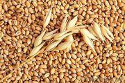 Фуражная пшеница,  ячмень овес