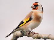 Щеглы и др. певчие птицы