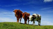 Куплю крупно-рогатый скот,  лошадей живым весом.