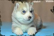 питомник предлагает щенков сибирской хаски