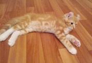 Котенок породы американский керл