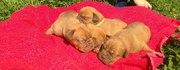 щенки бордоского дога