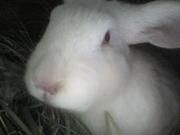 продаю кроликов живым весом